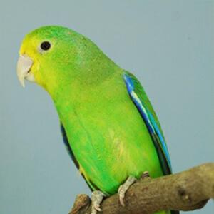 นกฟอพัส Blue-Winged Parrotlet