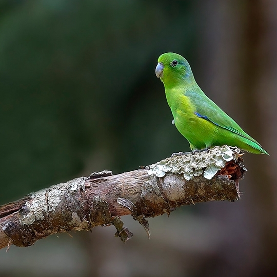 สายพันธุ์นกฟอพัส_Blue-Winged-Parrotlet
