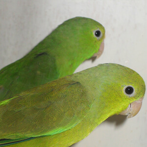นกฟอพัส Green-Rumped Parrotlet