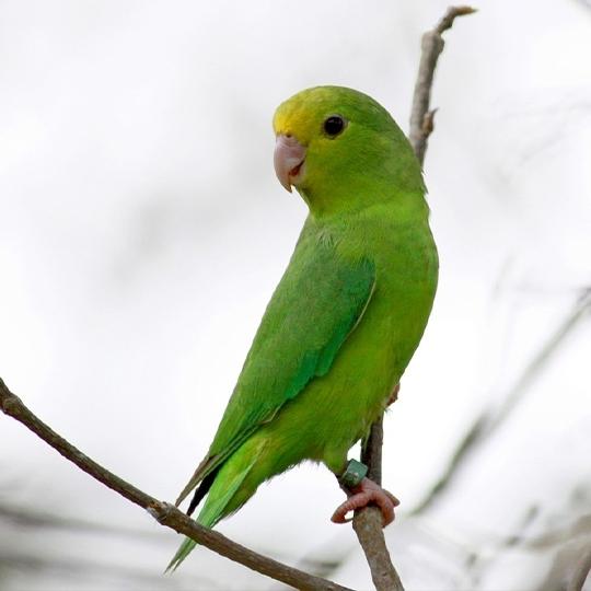 สายพันธุ์นกฟอพัส_Green-Rumped-Parrotlet
