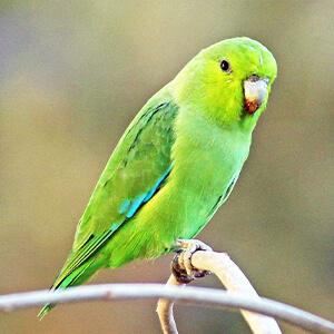 นกฟอพัส Maxican Parrotlet