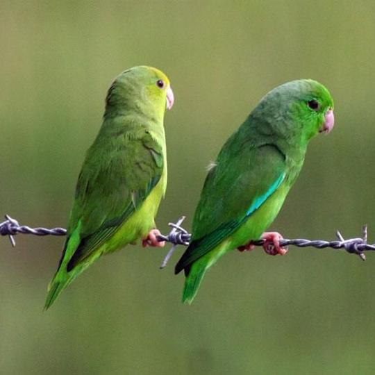 สายพันธุ์นกฟอพัส_Mexican-Parrotlet