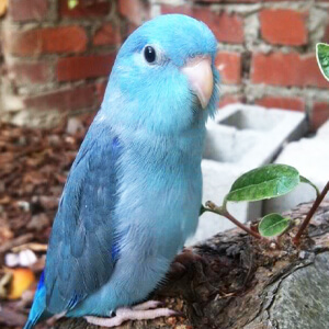 นกแก้วฟอพัส Pacific Parrotlet
