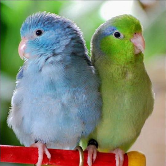 สายพันธุ์นกฟอพัส Pacific-Parrotlet