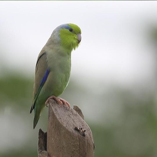 สายพันธุ์นกฟอพัส_Pacific-Parrotlet