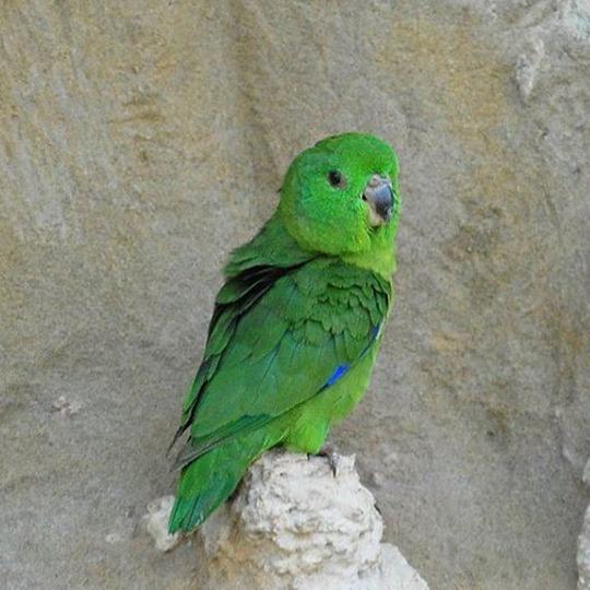 สายพันธุ์นกฟอพัส Sclater's-Parrotlet