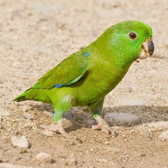 สายพันธุ์นกฟอพัส_Sclater's-Parrotlet