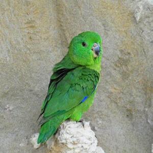 นกแก้วฟอพัส Sclaters Parrotlet