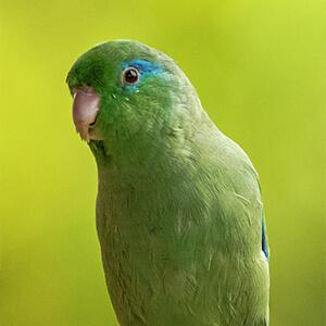 นกแก้วฟอพัส Spectacied Parrotlet