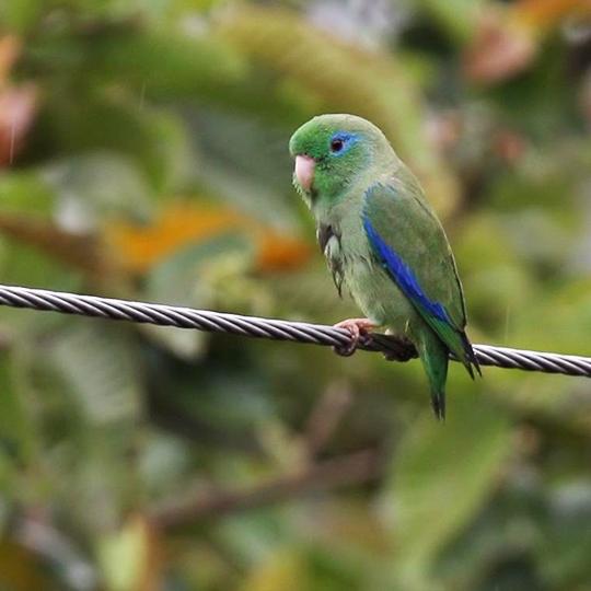 สายพันธุ์นกฟอพัส_Spectacied Parrotlet