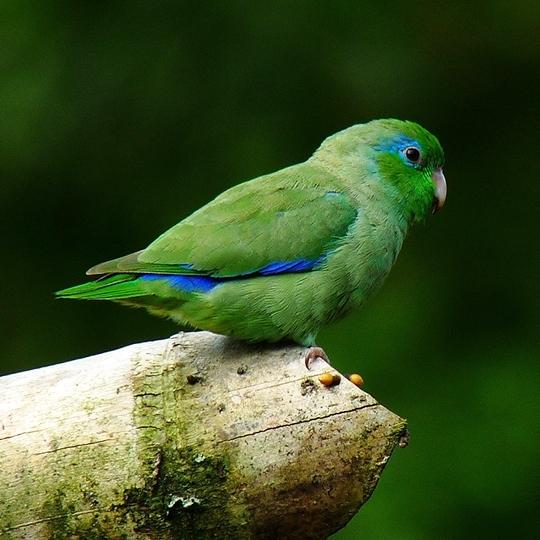 สายพันธุ์นกฟอพัส Spectacied Parrotlet