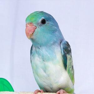 นกแก้วฟอพัส Turqoise-Rumped Parrotlet