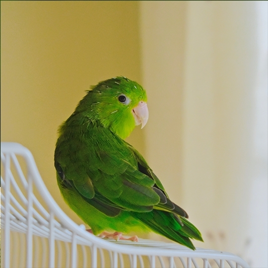สายพันธุ์นกฟอพัส turquoise-rumped-parrotlet