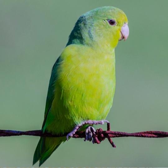 สายพันธุ์นกฟอพัส_turquoise-rumped-parrotlet
