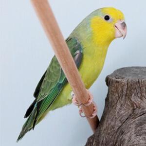 นกแก้วฟอพัส Yellow Face Parrotlet
