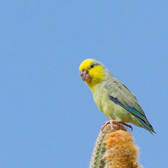 สายพันธุ์นกฟอพัส Yellow-Faced-Parrotlet