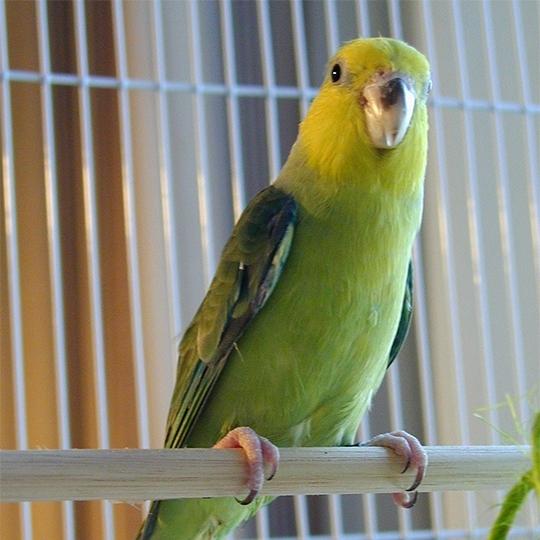 สายพันธุ์นกฟอพัส_Yellow-Faced-Parrotlet
