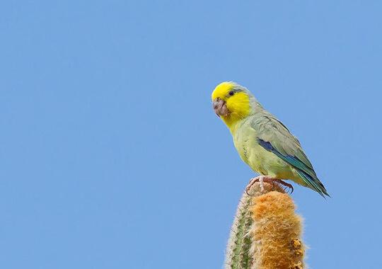 นกฟอพัส Yellow-faced-Parrotlet
