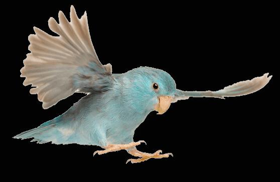 นกแก้วฟอพัส