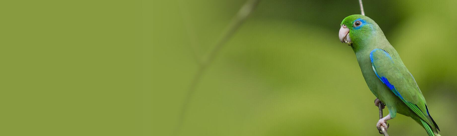 นกฟอพัส